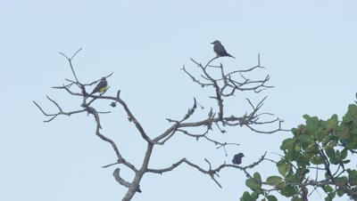 Small Birds Perched in rainforest Tree