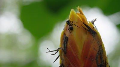 Large Ant on Rainforest Flower