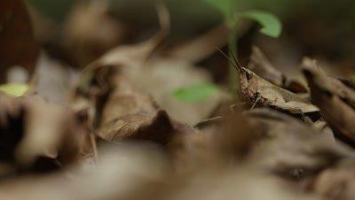 Grasshopper Well Camouflaged in Leaf Litter