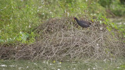 Common gallinule on brush pile