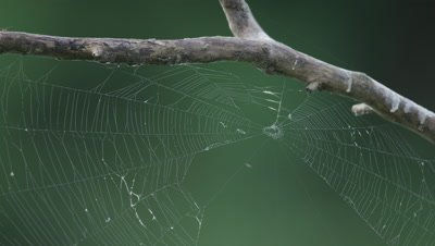 Spider Web on Branch,Soft Focus Rainforest Background