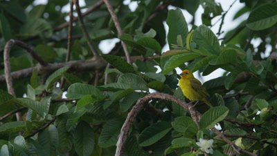 Yellow Bird Perches in Rainforest,Possibly Saffron Finch