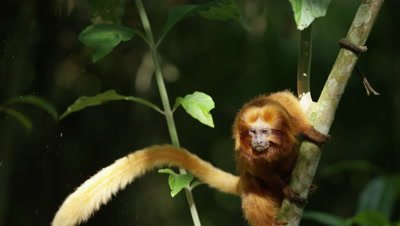 Golden Lion TamarinJumps on and off tree in Rainforest