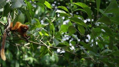 Golden Lion Tamarin Jumps From Branch in Rainforest