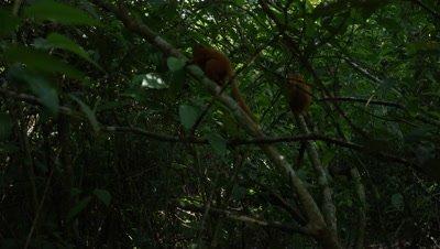 Golden Lion Tamarins in Dark Rainforest