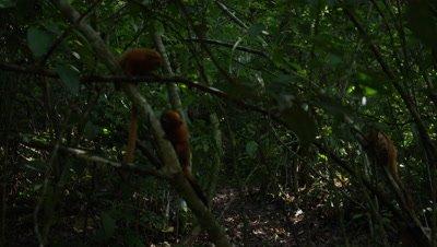 Golden Lion Tamarin in Rainforest
