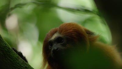 Golden Lion Tamarin in Rainforest,looks around