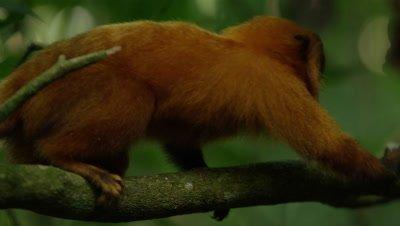 Golden Lion Tamarin in Rainforest Licks Branch,Possibly Feeding on Ants