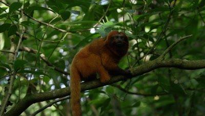Golden Lion Tamarin in Rainforest,Licks Tree Branch,Possibly Feeding on ants