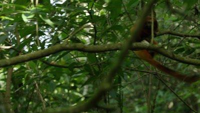 Golden Lion Tamarin Jumps From Branch to Breanch in Rainforest