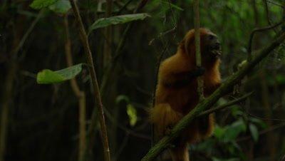Golden Lion Tamarin in Rainforest Licks Tree Brach,Possibly feeding on ants