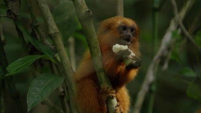 Golden Lion Tamarin Feeds in Rainforest