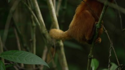 Golden Lion Tamarin in Rainforest Grips Branch with Feet and Tail