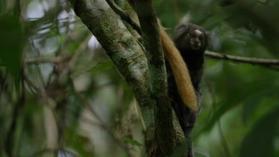 Golden Lion Tamarin and Black-Tufted Marmoset Climb in Rainforest