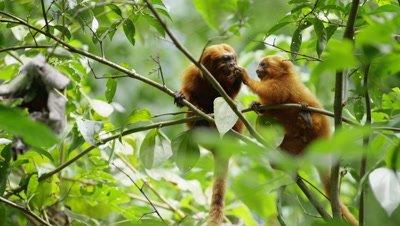 Golden Lion Tamarins Feed in Rainforest