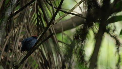 Bird in Atlantic Rainforest,Possibly Male Blue-backed Manakin