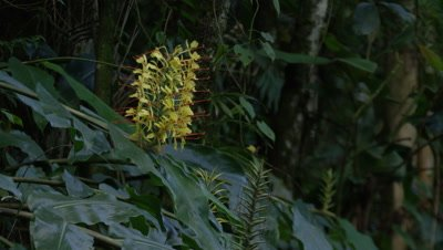 Yellow Ginger Lily Flowers in Rainforest
