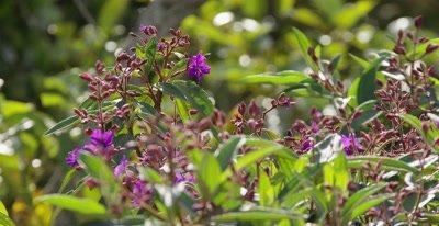 Atlantic Rainforest Flowering Tree or Shrub