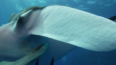 Manta ray with remoras off the coast of Socorro Island