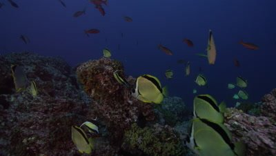 Group of fish, possibly Moorish Idols and Yellow-dotted Butterflyfish, swimming over a rocky reef