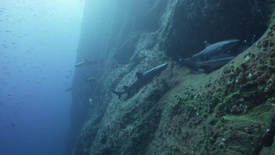 Group of Whitetip Reef Sharks resting and sleeping on the ledge of a rocky reef