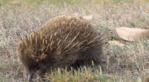 Short-Beaked Echidna Searching For Prey 2