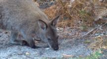 Bennett's Wallaby 02