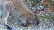 Bennett's Wallaby 03