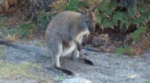 Bennett's Wallaby 04