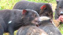 Tasmanian Devil 07