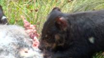 Tasmanian Devil 14