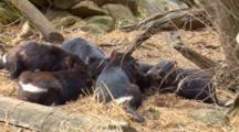 Tasmanian Devil 18