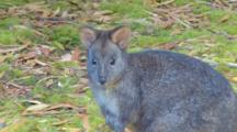 Tasmanian Pademelon 1