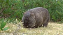 Wombat 03