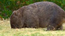 Wombat 04