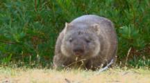 Wombat 05