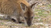 Forester Kangaroo 2