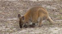 Forester Kangaroo 3