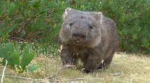 Wombat 06