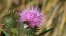 Bumble Bee On Pink Flower 1