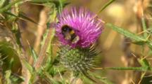 Bumble Bee On Pink Flower 3