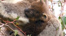 Koala With Joey In Eucalyptus Tree