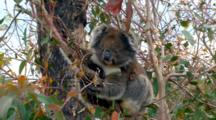 Koala With Joey In Eucalyptus Tree