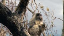 Koala Feeds In Eucalyptus Tree, Kangaroo Island