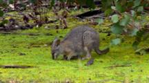 Tammar Wallaby Grazing