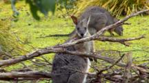Tammar Wallabies Grazing