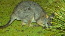 Tammar Wallaby Grazing With Joey In Pouch