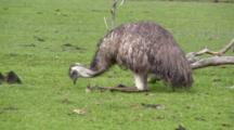 Emu Feeding On Grass