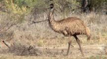 Emu Walking On Grass Plain