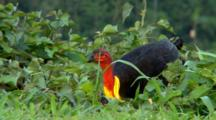 Australian Brush-Turkey Feeding
